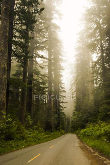 Мальовничий вид на дорозі зникаючими в туманний соснового лісу — стокове фото