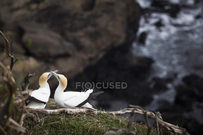 Oiseaux de deux gannet becs comportement d'accouplement de toucher — Photo de stock