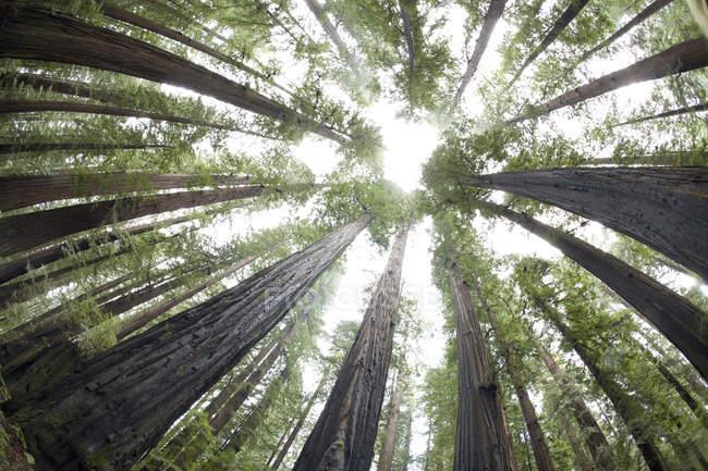 Vista inferiore di vecchia crescita redwoods — Foto stock