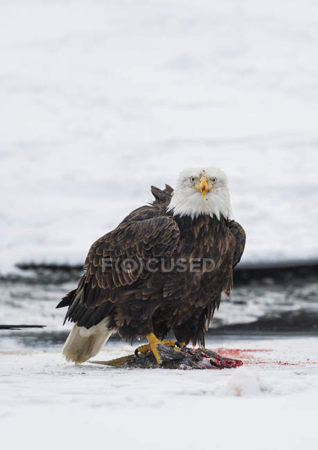 Weißkopfseeadler steht auf erlegten Lachsen auf gefrorenem Fluss — Stockfoto