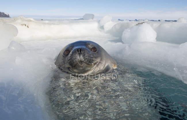 Foca de Weddell olhando para fora respirar o buraco no gelo — Fotografia de Stock