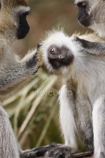 Affen putzen sich gegenseitig. Tansania, Afrika. — Stockfoto