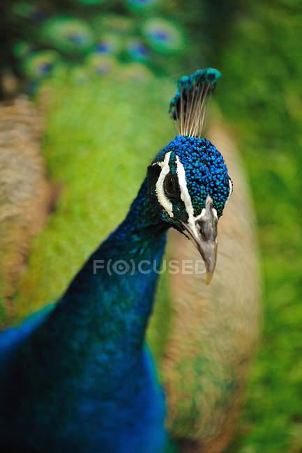 Tête de paon bleu indien bouchent shot — Photo de stock