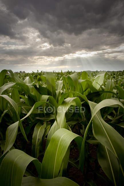 Кукурудзяне поле з темним небом драматичні і світлових променів — стокове фото