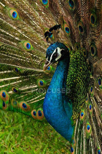 Paon bleu indien exhibant des plumes, bouchent shot — Photo de stock