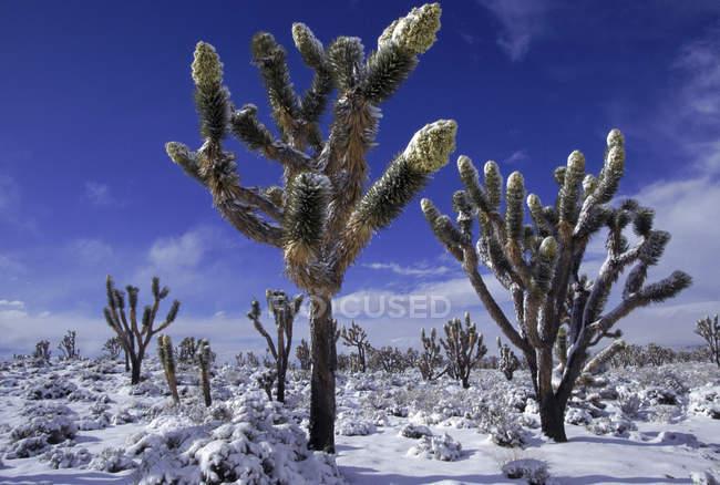 Árvore de Joshua cobertas de neve floresta sob céu azul — Fotografia de Stock
