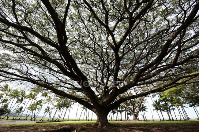 Árvore de Pod macaco com palmeiras em fundo — Fotografia de Stock