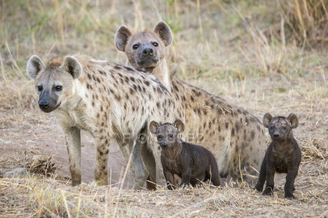 Гиены и их детенышей, опираясь на сухом поле — стоковое фото