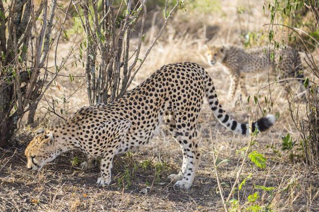 Гепард и ее детеныш на фоне — стоковое фото