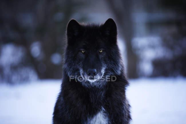 Вид спереди черного волка в снежный пейзаж — стоковое фото