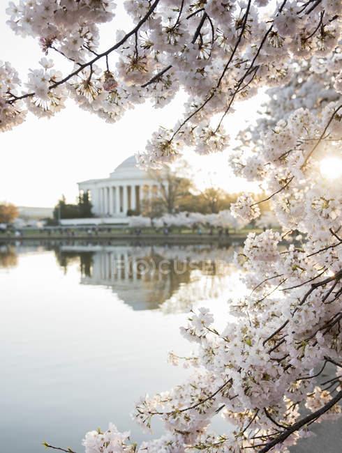 Меморіал Джефферсона через вишні розквітає у sunlight — стокове фото