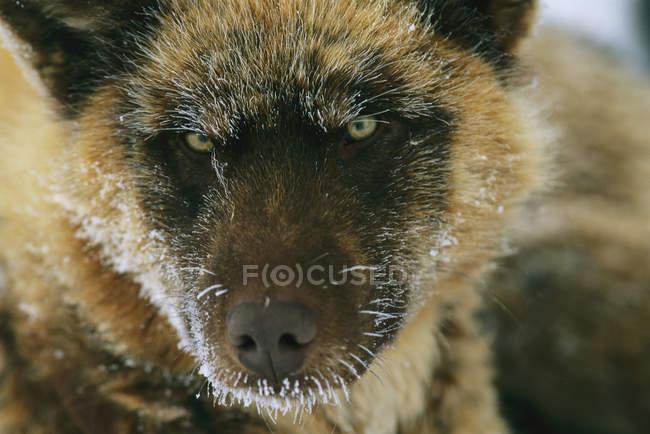 Gros coup de tête de chien de traîneau — Photo de stock