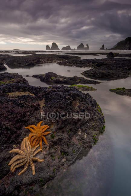 Seastars на вулканічних скелястому узбережжі з Південного острова, Нова Зеландія — стокове фото