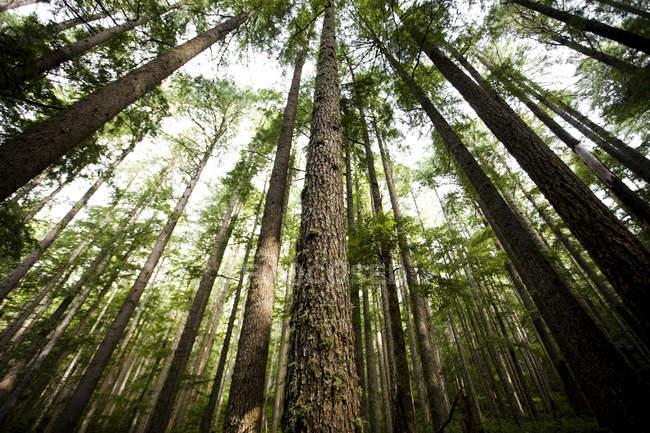 Prise de vue grand angle des grands arbres dans le Parc National Olympique — Photo de stock