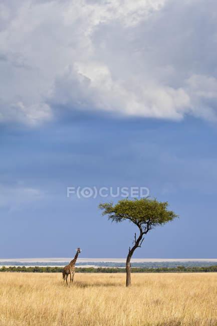 Западноафриканская жирафа рядом с акацией в кенийском национальном заповеднике Масаи-Мара — стоковое фото