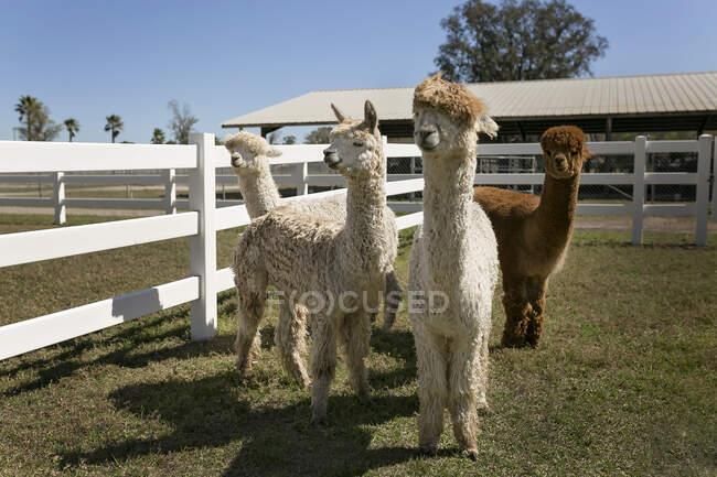 A closeup shot of a group of alpaca in a farm - foto de stock