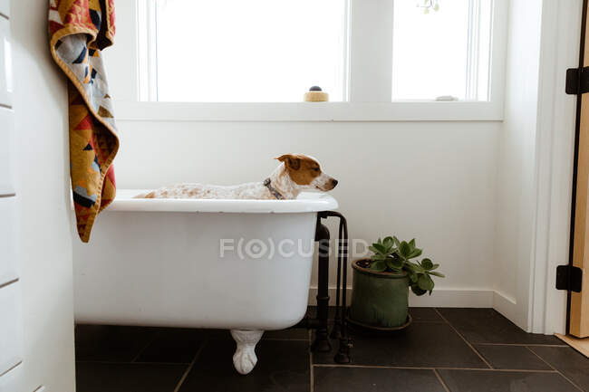 Sad puppy standing in white bathroom before bath time — Stock Photo