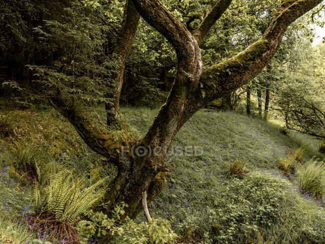 Arbres dans la belle forêt écossaise verte — Photo de stock