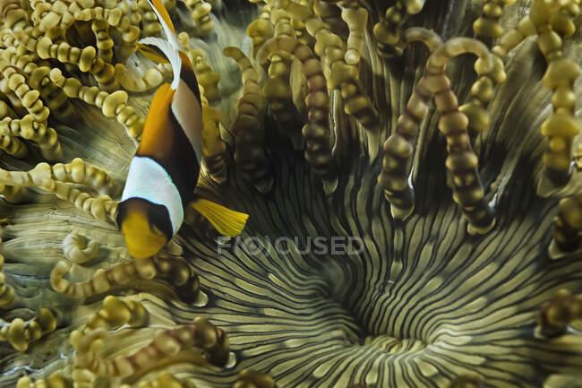 Un pez payaso en una anémona de burbujas, Madagascar. - foto de stock