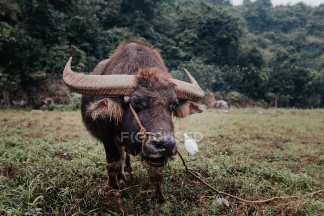 Un primer plano de un búfalo de pie en el prado - foto de stock