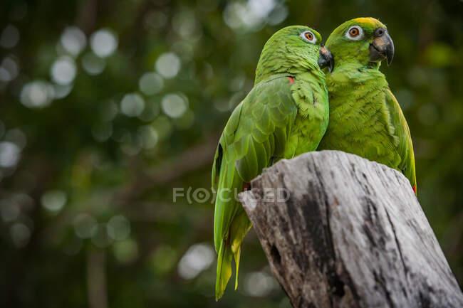 Amazona escamosa (Amazona mercenaria) aves - foto de stock