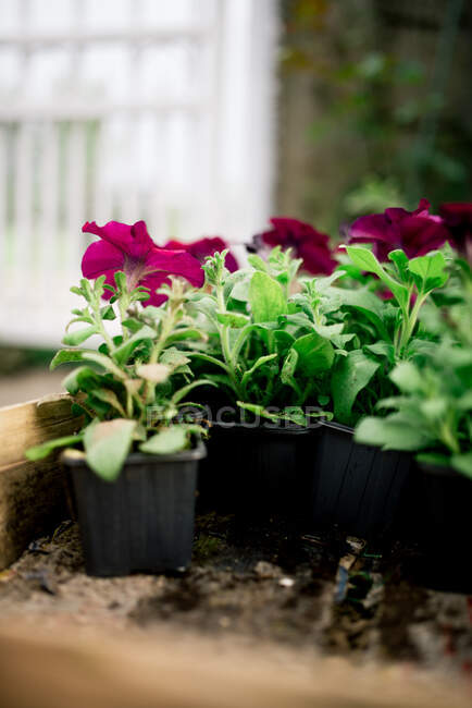 Beautiful flowers in pots in the garden on background, close up — Stock Photo