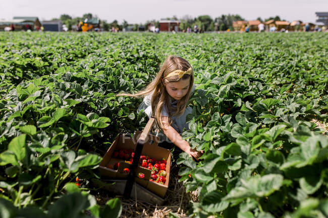 Little girl picking strawberry on a farm field. — Stock Photo