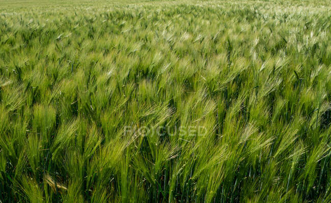 Beautiful green barley field, agriculture concept — Stock Photo