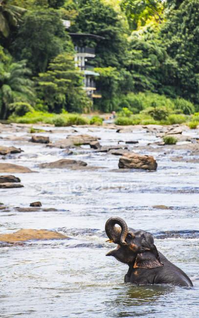 Elefante indiano che fa il bagno, Sri Lanka — Foto stock