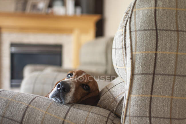 Cute dog laying on the sofa — Stock Photo