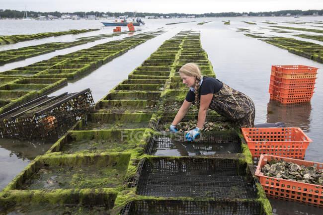 Hembra granjera de mariscos sacando ostras de jaulas - foto de stock