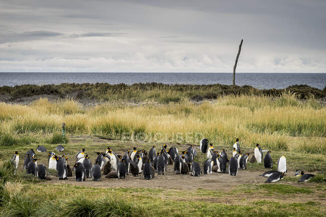 Colony of king penguins in Reserva Natural Pingino Rey, Patagonia, Chile — Stock Photo