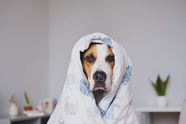 Dog in bedroom wrapped in the throw blanket. Cute staffordshire terrier in plaid in cozy modern interior, staying home, sleepy concept — Stock Photo