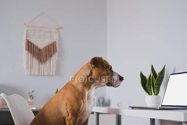 Hund schaut auf Laptop-Bildschirm am heimischen Schreibtisch. Arbeiten von zu Hause aus, Telekommunikation, Selbstisolierung und Daheimbleiben — Stockfoto