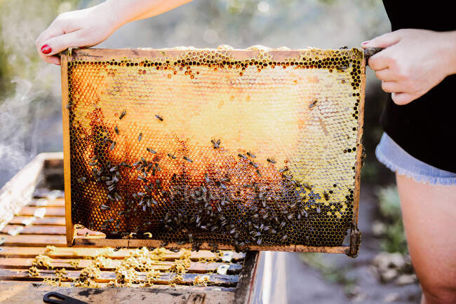 Cropped image of beekeeper while holding wooden frame — Stock Photo