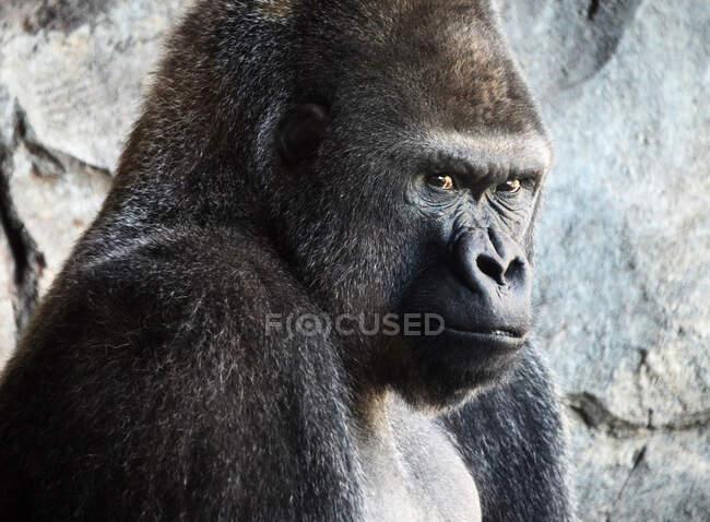 Animal gorila en el zoológico en el fondo, de cerca - foto de stock