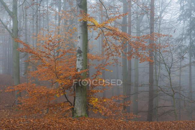 Tree with orange leaves in autumn on misty morning, Hruba Skala, Semily District, Liberec Region, Bohemian Paradise, Bohemia, Czech Republic — Stock Photo