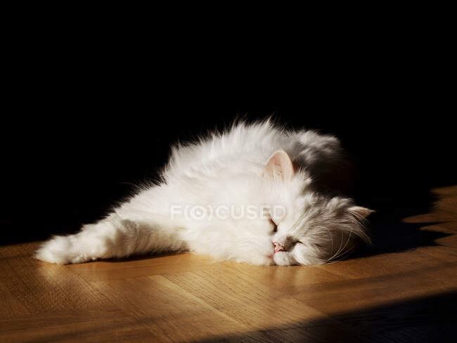 Cute white fluffy cat at home — Stock Photo