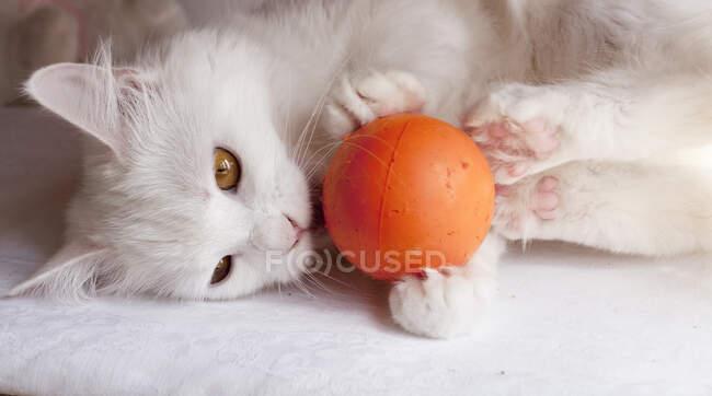 Lindo blanco esponjoso gato jugando con pelota en casa - foto de stock