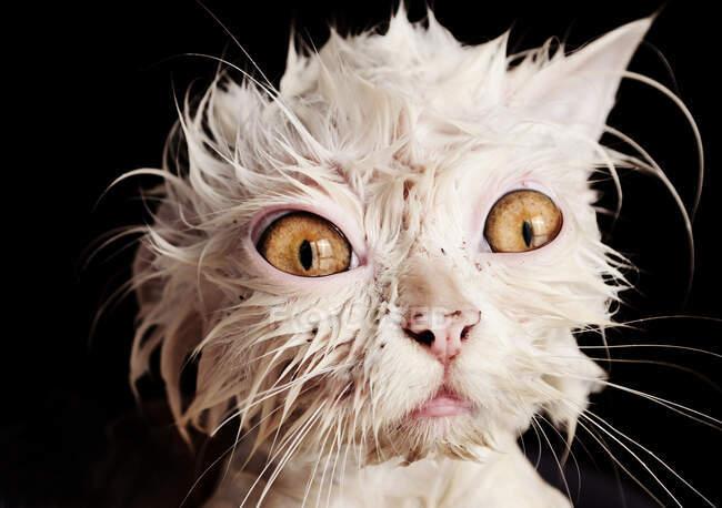 Húmedo lindo blanco esponjoso gato después de baño en casa - foto de stock