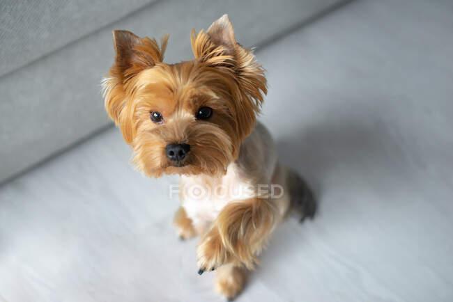 Милий шершінговий собака з білим фоном. — стокове фото