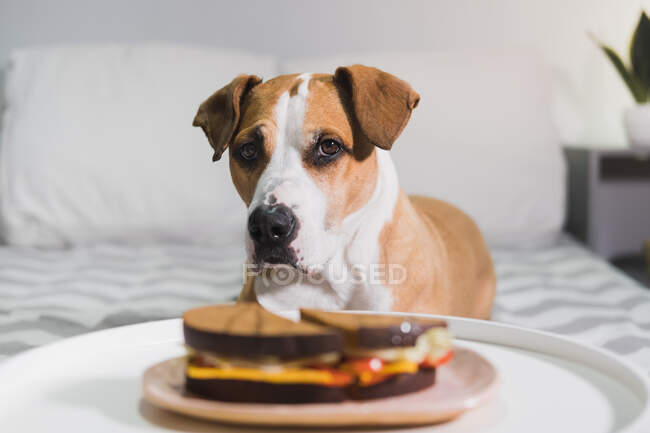 Hungry dog sits in front of a sandwich. Cute staffordshire terrier begging for food in the living room — Stock Photo