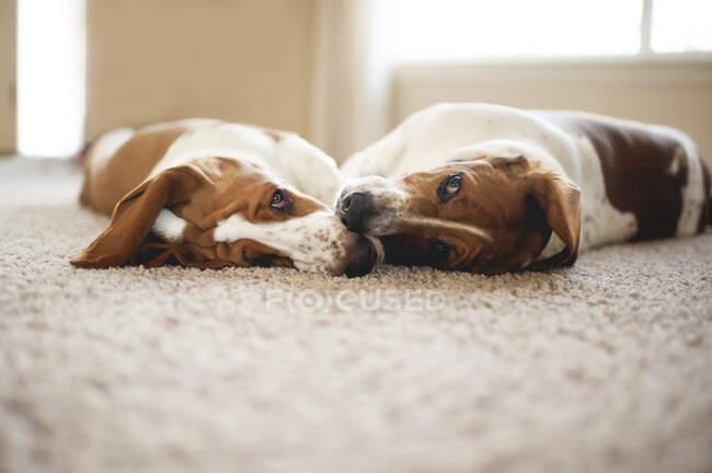 Собаки-бассет дома — стоковое фото