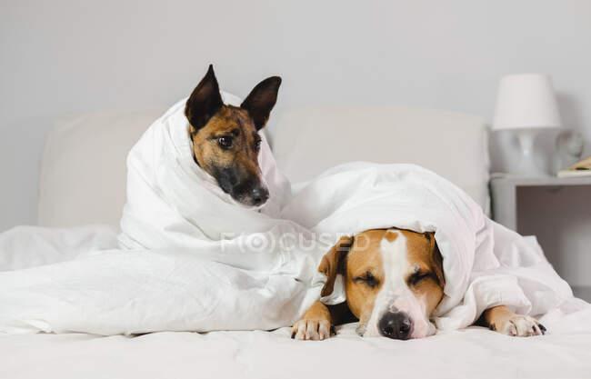 Dos perros dormilones y divertidos envueltos en mantas blancas en un dormitorio - concepto acogedor, perezoso, resaca o enfermedad - foto de stock