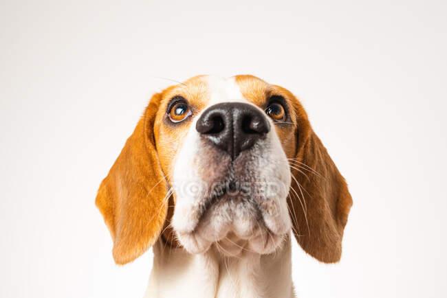 Cabeza de perro aislada sobre fondo blanco. Beagle perro mirando hacia arriba. - foto de stock