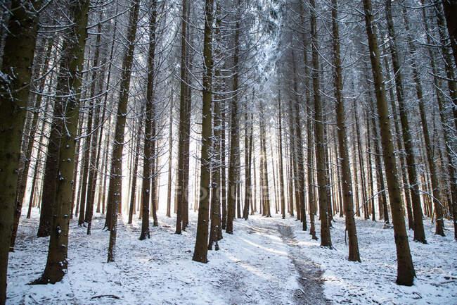Bellissimo paesaggio invernale con pineta innevata — Foto stock