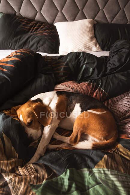 Бигл-дог спит на уютной кровати. Над вертикальной стрельбой. Собаки. — стоковое фото