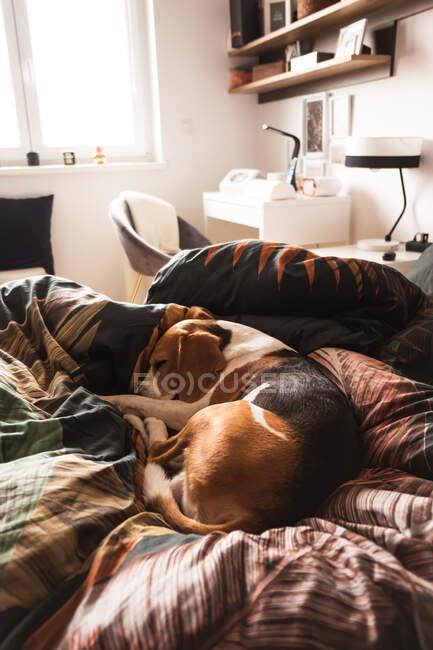 Um cão adulto beagle dormindo em uma cama aconchegante. Fundo do cão. — Fotografia de Stock