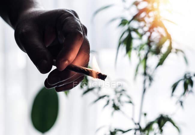 Atrás iluminado Mano de un joven sosteniendo marihuana en llamas Conjunto contra planta de Cannabis - foto de stock