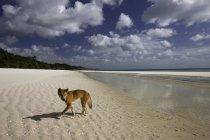 Chien Dingo sur la plage — Photo de stock